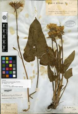 Image of Balsamorhiza glabrescens