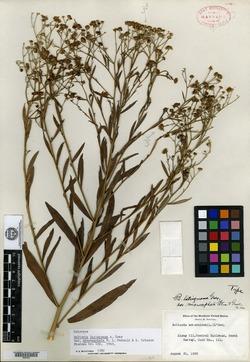 Boltonia latisquama image