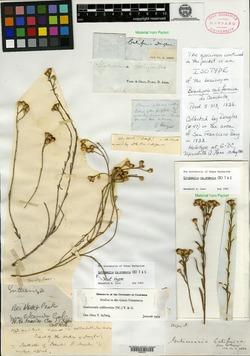 Image of Brachyris californica