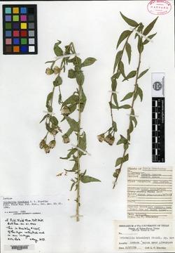 Image of Brickellia hinckleyi