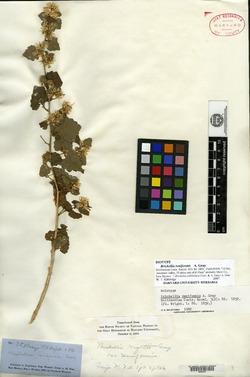 Image of Brickellia reniformis