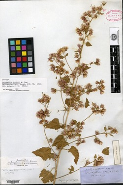 Brickellia wrightii image