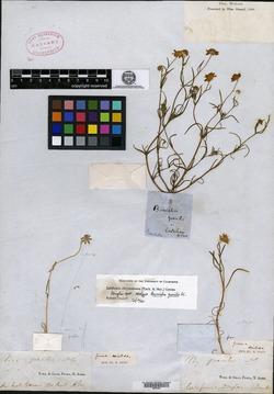 Image of Burrielia gracilis