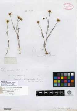 Image of Burrielia platycarpha