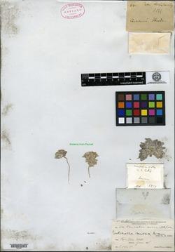 Image of Burrielia nivea