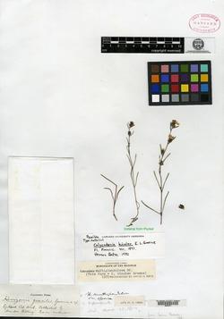 Image of Calycadenia bicolor