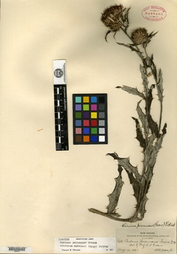 Image of Carduus perennans