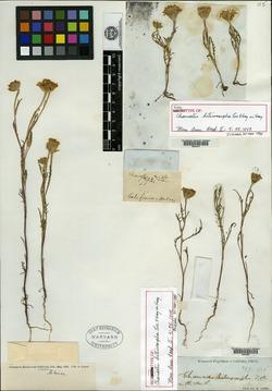 Image of Chaenactis heterocarpha