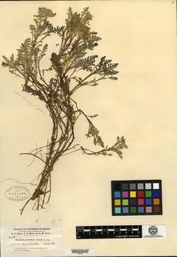 Image of Chaenactis pedicularia