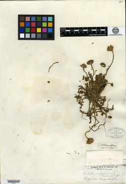 Image of Chaenactis tanacetifolia