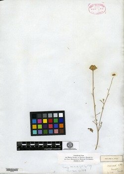 Image of Chaenactis tenuifolia