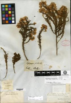 Image of Ericameria microphylla