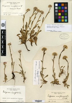 Image of Erigeron alpiniformis