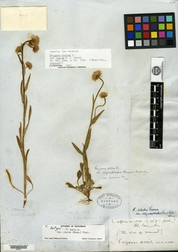 Erigeron alpinus image