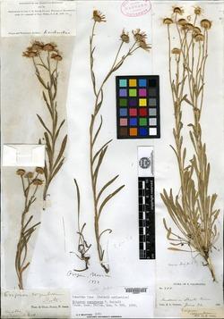 Erigeron corymbosus image
