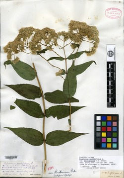 Eupatorium sessilifolium var. brittonianum image