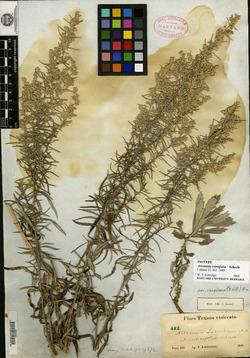 Image of Artemisia cuneifolia