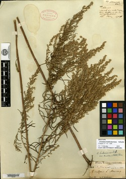 Image of Artemisia lindheimeriana