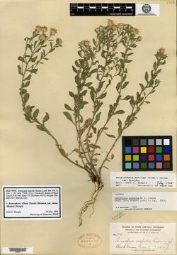Chrysopsis asprella image