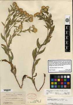 Image of Chrysopsis barbata
