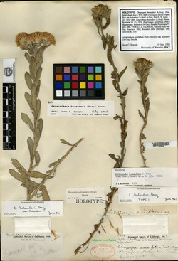 Chrysopsis bolanderi image