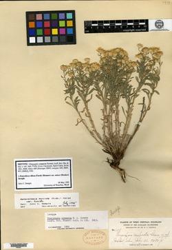 Image of Chrysopsis compacta