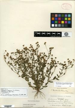 Image of Biolettia riparia