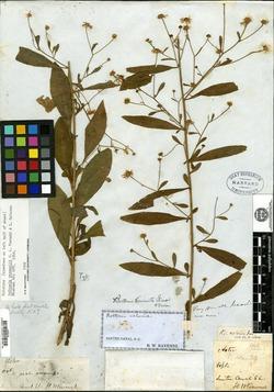 Image of Boltonia ravenelii