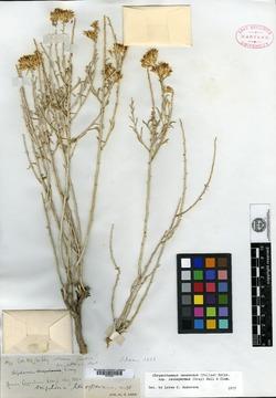 Image of Bigelowia leiosperma