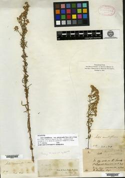 Symphyotrichum ericoides var. stricticaule image