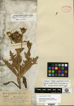 Image of Crepis monticola