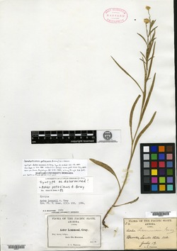 Symphyotrichum potosinum image