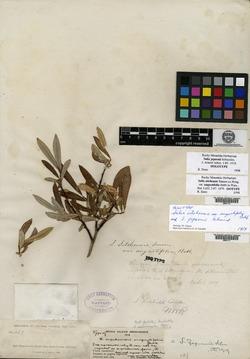 Salix jepsonii image