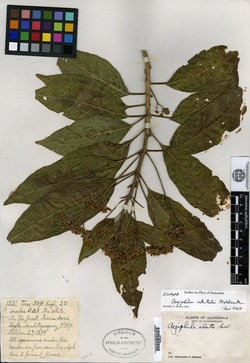 Aegiphila skutchii image