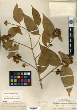 Image of Aegiphila pacifica