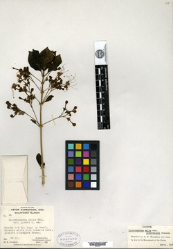 Clerodendrum molle image
