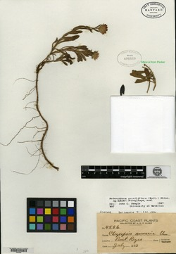 Chrysopsis arenaria image