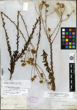 Chrysopsis gigantea image