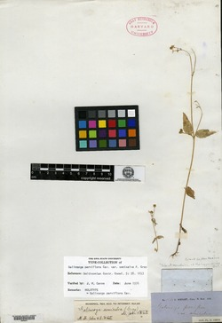 Galinsoga parviflora var. semicalva image