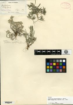 Image of Helichrysum litoreum