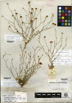 Gutierrezia arizonica image