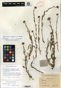 Image of Grindelia oolepis