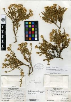 Image of Haplopappus gilmanii