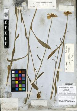 Image of Helenium curtisii