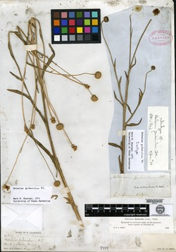 Helenium puberulum image