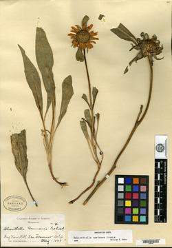 Image of Helianthella cannonae