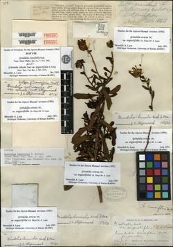 Image of Grindelia cuneifolia