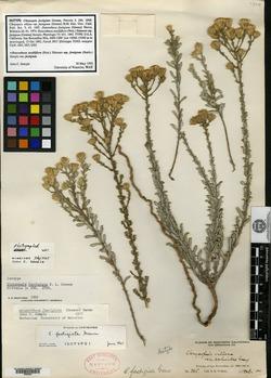 Image of Chrysopsis fastigiata