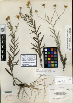 Chrysopsis flexuosa image
