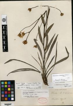 Chrysopsis oligantha image